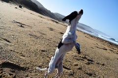 Hund-chihuaha Stockfoto