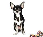 Hund (chihuahua) som isoleras Arkivfoto
