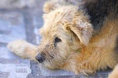 Hund-clos-up, das in der Insel von Santorini sich entspannt lizenzfreies stockbild