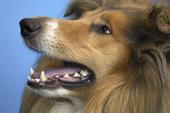 Hund - Collie Stockbild