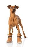 Hund con las botas Imagen de archivo libre de regalías