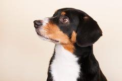 Hund de Sennen de portrait image libre de droits