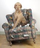 Hund demoliert Stuhl Stockfoto