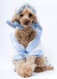 Hund in den blauen Lockenwicklern und im Bademantel Stockbilder