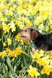 Hund in den Blumen Lizenzfreie Stockfotos