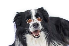 Hund in den Gläsern sieht wie Lehrer oder Professor aus stockfotos