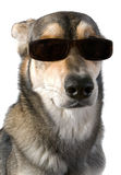 Hund in den Sonnenbrillen Lizenzfreies Stockbild
