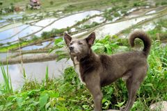 Hund an den UNESCO-Reis-Terrassen in Batad, Philippinen stockbilder