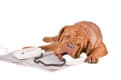 Hund, der über dem Telefon argumentiert Stockfotos
