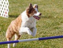 Hund, der über einen Sprung an der Beweglichkeit hinausgeht Lizenzfreies Stockfoto