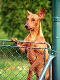 Hund, der über Zaun schaut Lizenzfreie Stockbilder