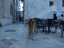 Hund in der alten Stadt Kotor, früher Morgen montenegro lizenzfreies stockbild