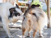 Hund, der andere Hund-` s Rückseite schnüffelt Stockbild