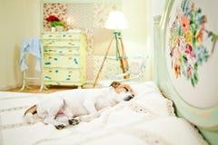 Hund, der auf Bett schläft Lizenzfreie Stockfotos