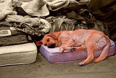 Hund, der auf dem Bett schläft Lizenzfreie Stockfotos