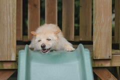 Hund, der auf dem Dia lächelt Stockfotografie
