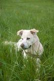 Hund, der auf dem Gebiet sitzt Lizenzfreie Stockfotos
