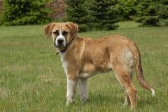 Hund, der auf dem Gebiet steht Stockbilder