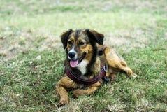 Hund, der auf dem Gras liegt Lizenzfreie Stockfotos