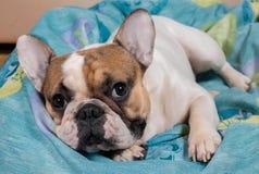 Hund, der auf dem Kissen liegt Lizenzfreie Stockbilder