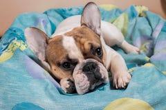 Hund, der auf dem Kissen liegt Lizenzfreies Stockbild