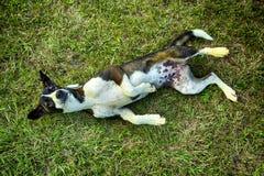 Hund, der auf dem Rasen liegt Lizenzfreies Stockfoto