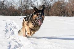 Hund, der auf dem Schnee läuft Stockfotografie