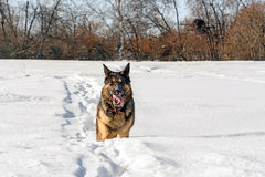 Hund, der auf dem Schnee läuft Stockbilder