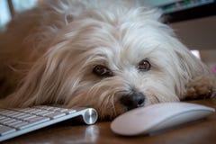 Hund, der auf dem Schreibtisch liegt Stockbild