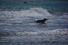 Hund, der auf dem Strand in Kalifornien läuft Lizenzfreies Stockfoto