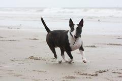 Hund, der auf dem Strand läuft Stockbild