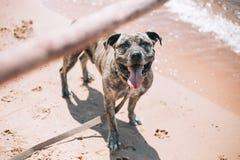 Hund, der auf dem Strand mit einem Stock spielt stockbild