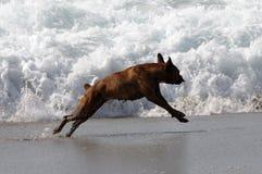 Hund, der auf dem Strand spielt Stockfotos