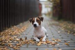 Hund, der auf dem Weg im Herbstlaub liegt Stockbilder