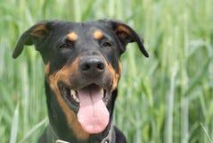 Hund, der auf dem Weizengebiet sitzt Lizenzfreie Stockfotos