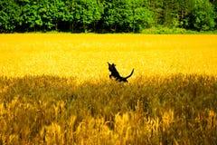 Hund, der auf dem Weizengebiet spielt Lizenzfreie Stockfotos