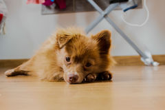 Hund, der auf den Chef wartend schläft lizenzfreie stockbilder