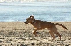 Hund, der auf den Strand läuft Lizenzfreie Stockfotos