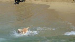 Hund, der auf der Küste läuft Langsame Bewegung stock video footage