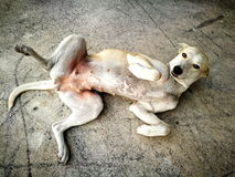 Hund, der auf der Straße liegt Stockbild