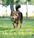 Hund, der auf der Wiese spielt Lizenzfreie Stockfotos