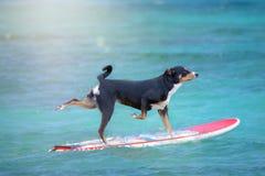 Hund, der auf ein Surfbrett am Ozeanufer, Appenzeller-Gebirgshund surft stockbilder