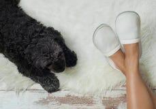 Hund, der auf einem Bretterboden nahe Pantoffeln liegt Gemütlich, warm, bequem stockfoto
