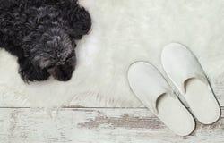 Hund, der auf einem Bretterboden nahe Pantoffeln liegt Gemütlich, warm, bequem stockbild