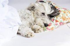 Hund, der auf einem Kissen schläft lizenzfreies stockfoto