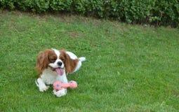 Hund, der auf einem Rasen stillsteht Lizenzfreie Stockfotos