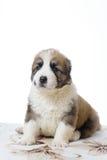 Hund, der auf einem weißen Hintergrund grusny sitzt Stockbilder