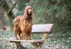 Hund, der auf einer Bank steht Lizenzfreies Stockbild