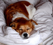 Hund, der auf einer weißen Decke schläft Stockfoto