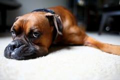 Hund, der auf Fußboden legt Stockfotografie